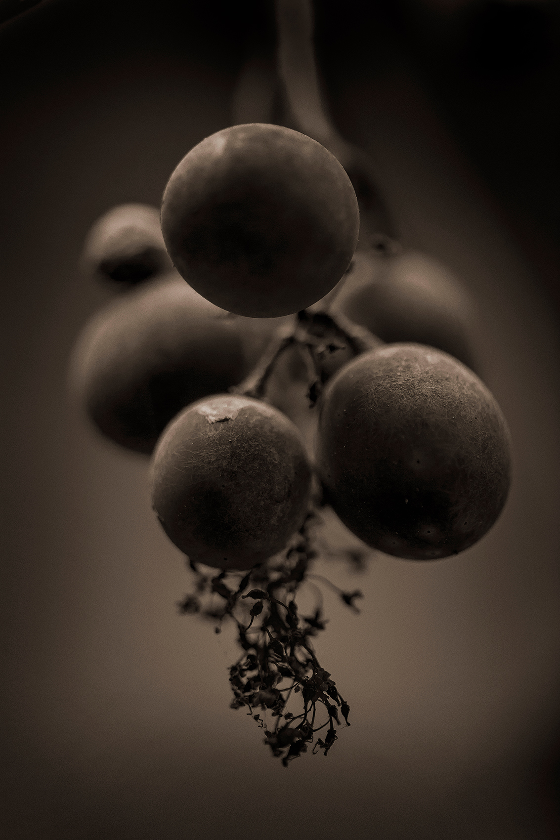 Harvest_Grapes_XS0O2352_web
